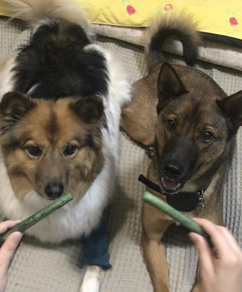 歯磨きガムを前にマテをする犬たち